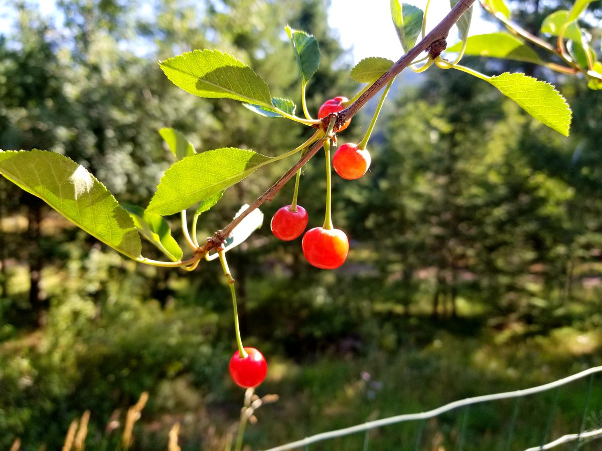 Delicious Cherries from the Tree