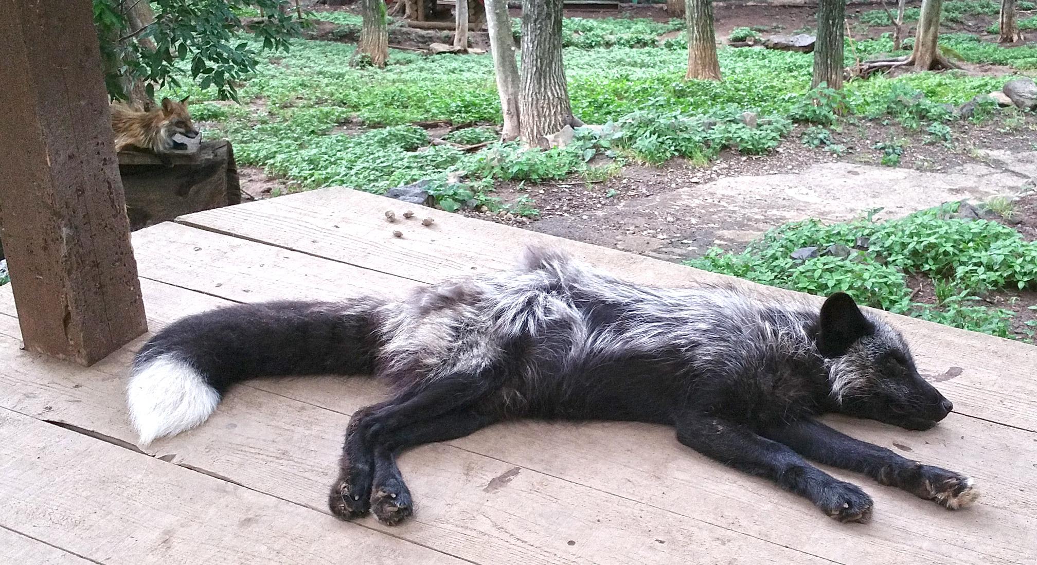 Zao-Fox-Village-Dark-Fox-Sprawled.jpg