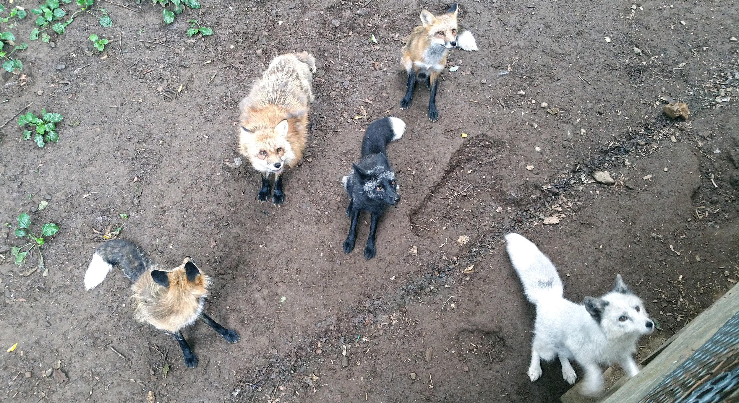 Zao-Fox-Village-Two-Feed-Us.jpg