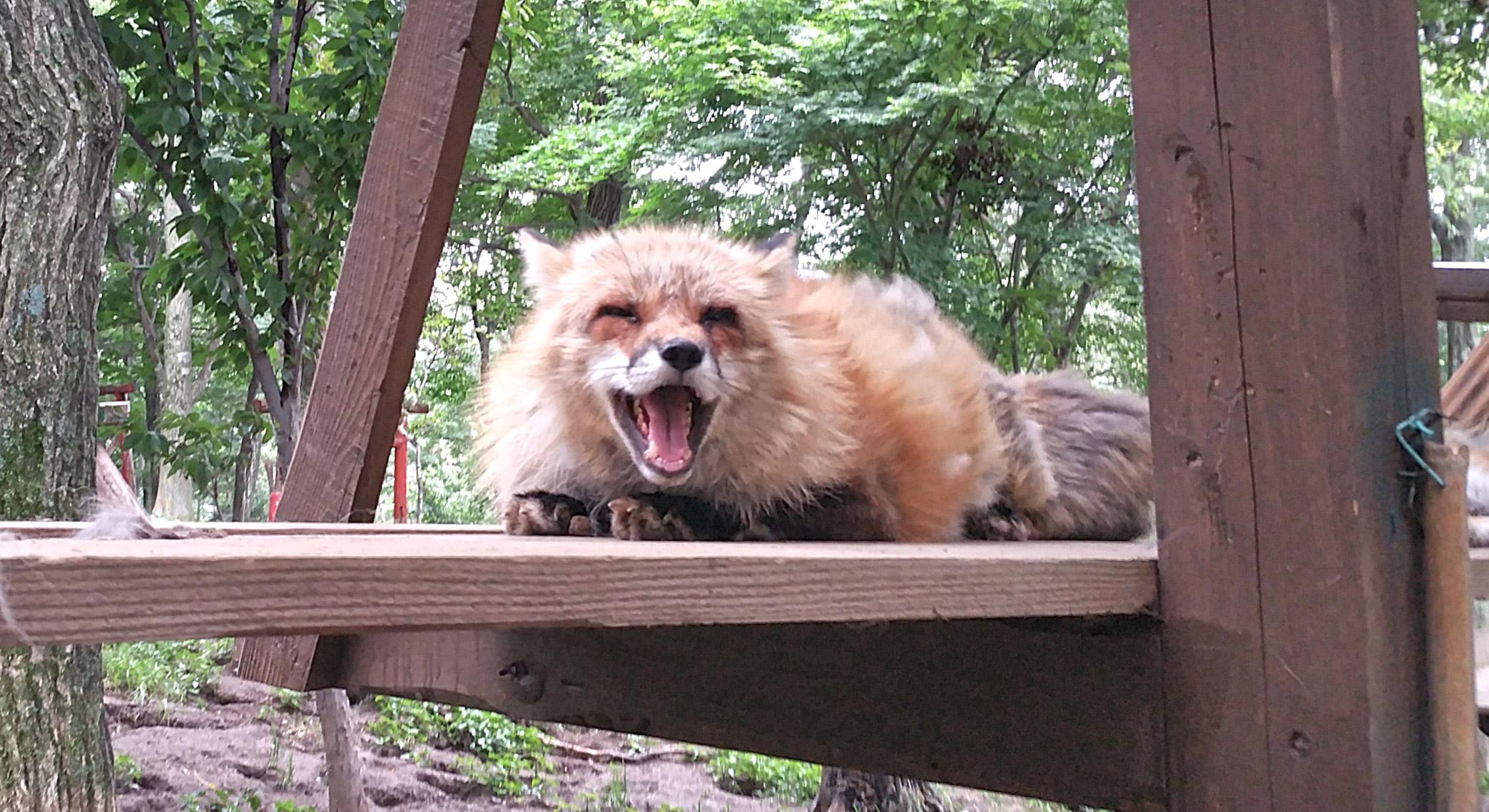 Zao-Fox-Village-Yell-Yawn.jpg