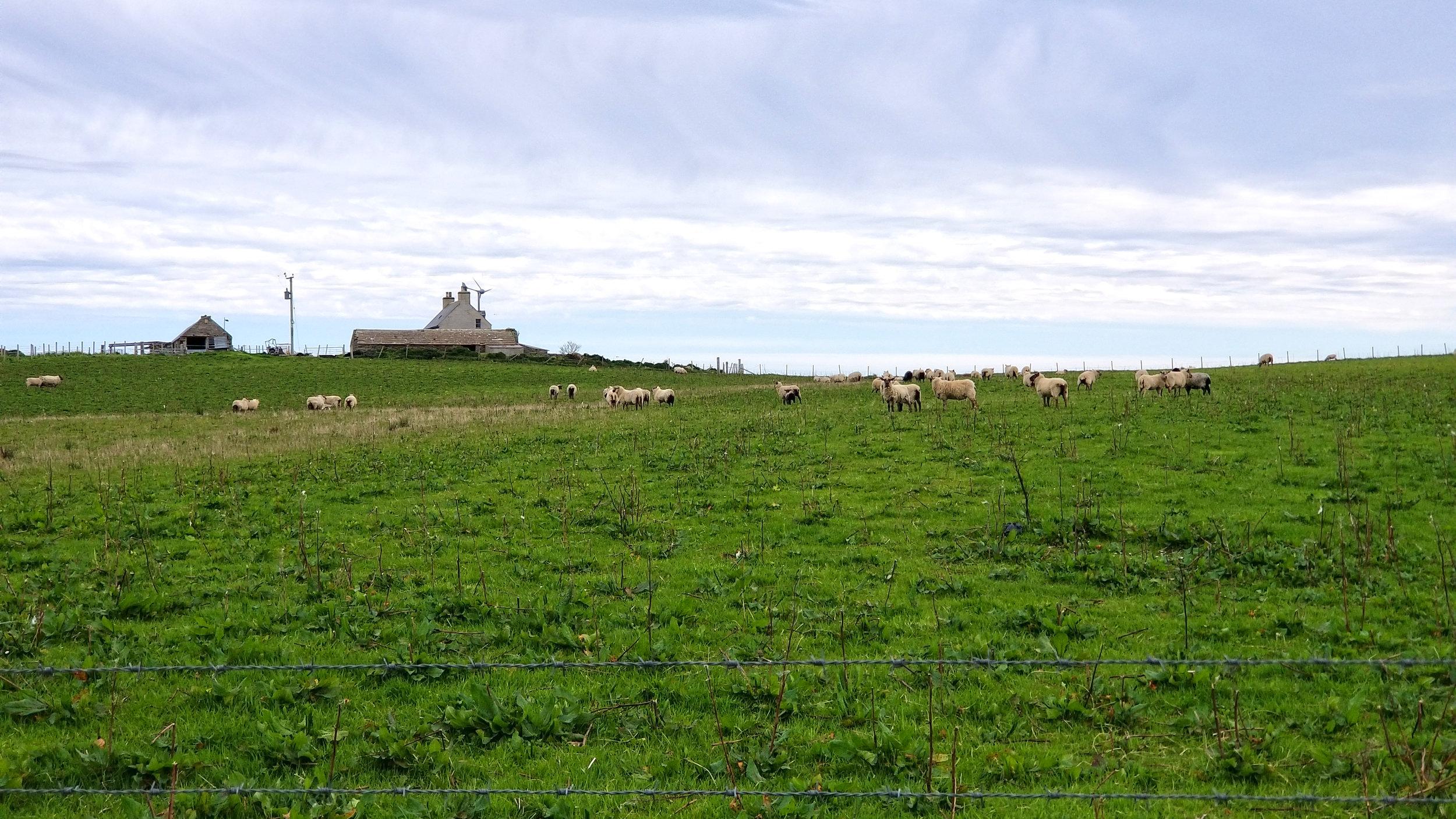Wyre Sheep.jpg