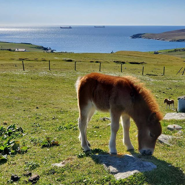 It's impossible to capture #shetland in one photo, but this isn't a terrible attempt. Just outside of #lerwick this morning.  #foal #shetlandfoal #pony #shetlandpony #bluewater #beach #seacliffs #scotlandadventures #scotlandlover #scotlandmagazine #scotlandtravel #scotland #insta_scotland #horses