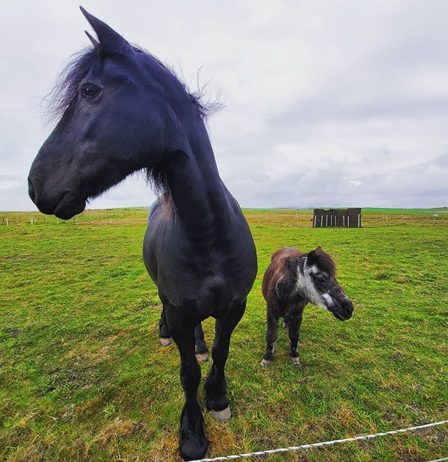 Do you want the mini-compact or the brand-new streamlined extra-large model with acres of legroom and plenty of #horsepower ?  #shapinsay #orkney #shetlandpony #horses #scotlandadventures #scotlandlover #scotlandmagazine #insta_scotland #scottishislands #scotland #scotlandtravel #orkneyislands #orkneyislandsscotland