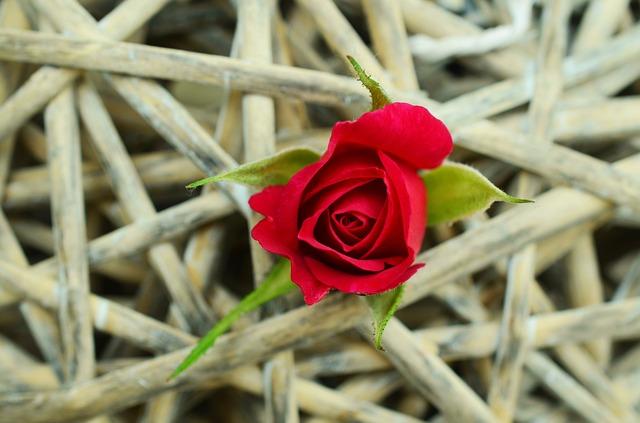 rose-829176_640.jpg