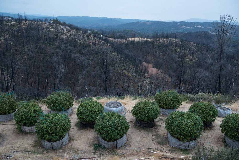 A cannabis crop ready for harvest overlooks devastation from wildfires in Calaveras County