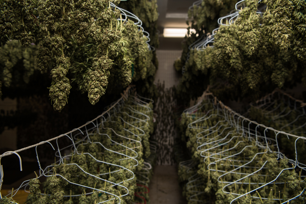 California Cannabis typically hang dries for up to a week before trimmers begin manicuring the buds