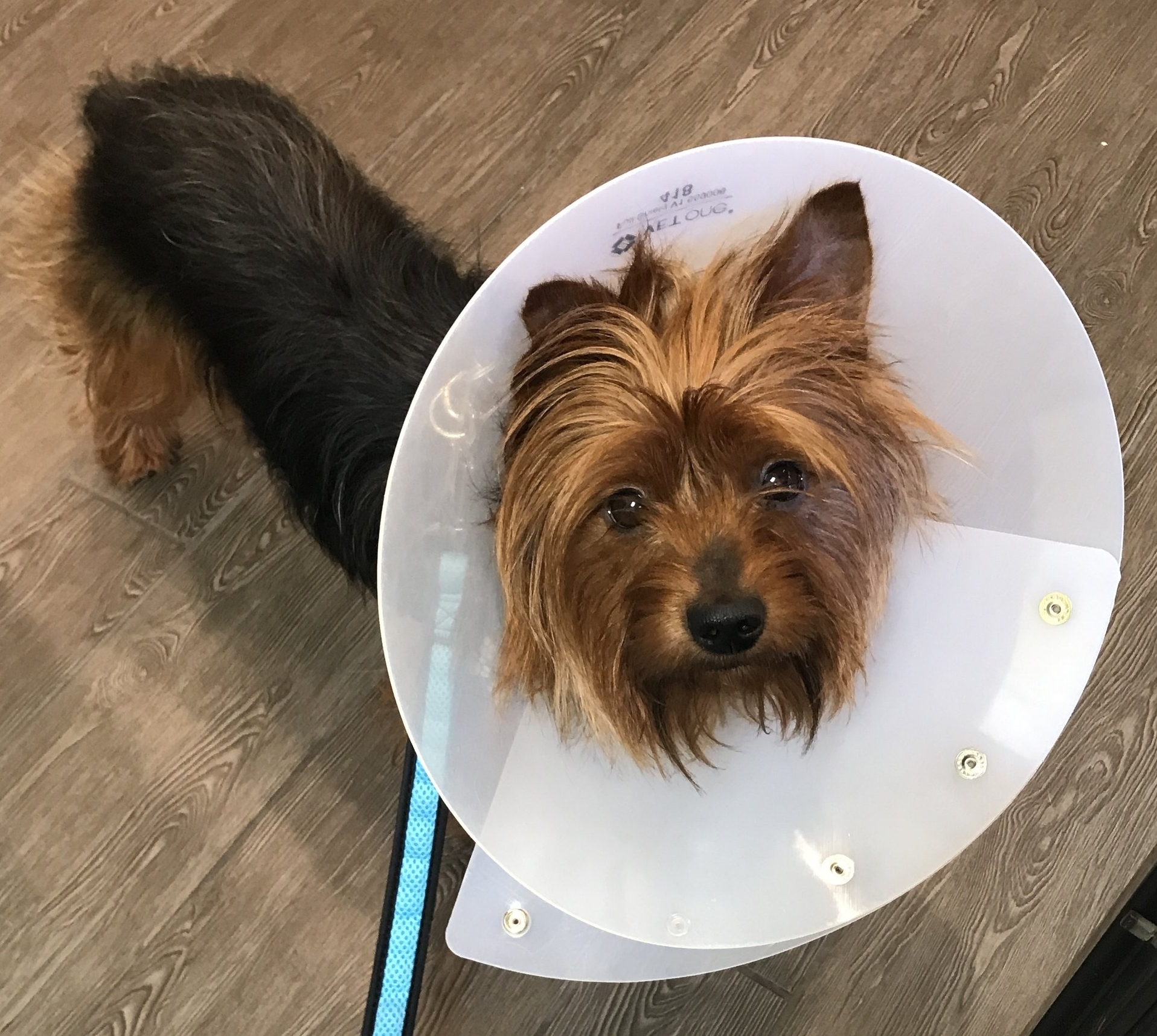 Chewie wearing an Elizabethan Collar to stop him from licking his wounds