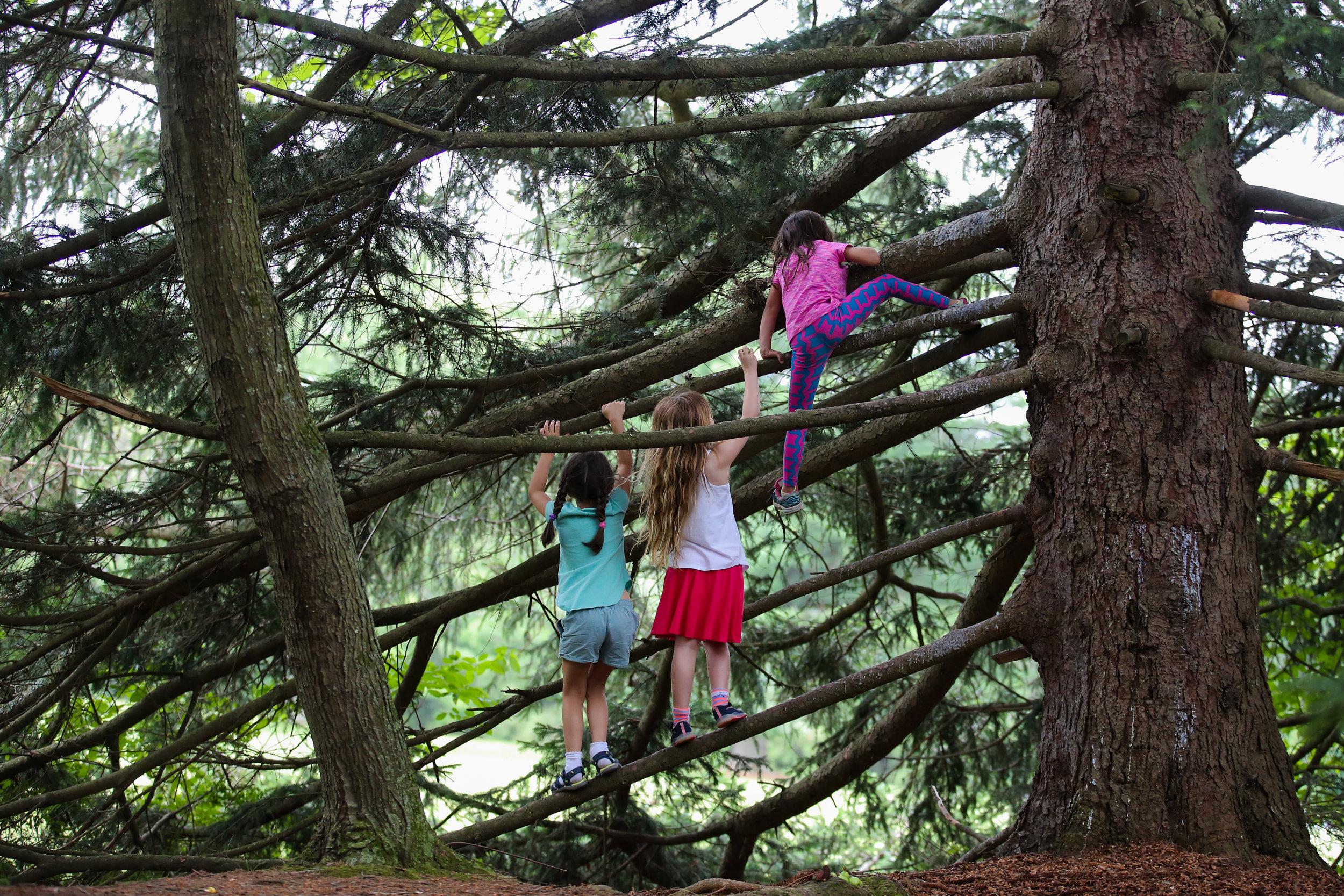 Three girls climb the limbs of a large coniferous tree