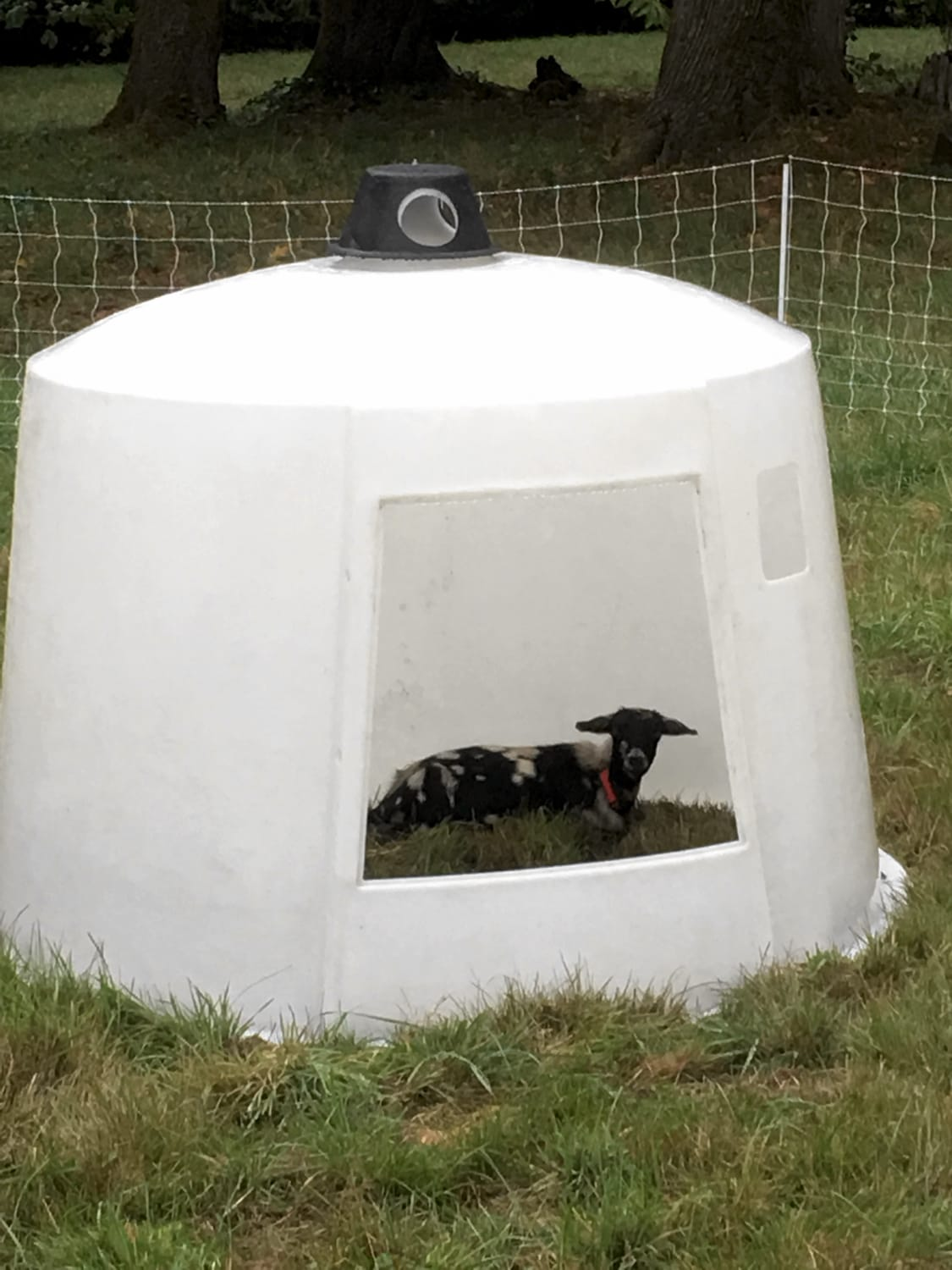 One of our goats relaxing in the PolyDome.