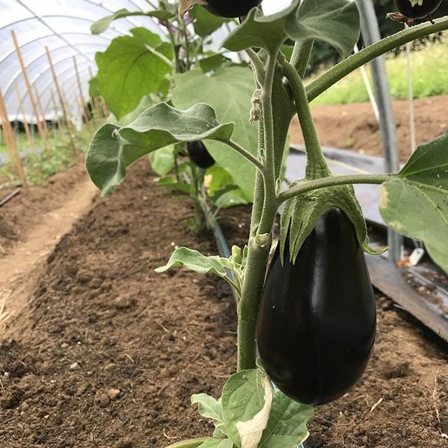 The eggplant are here!!!
