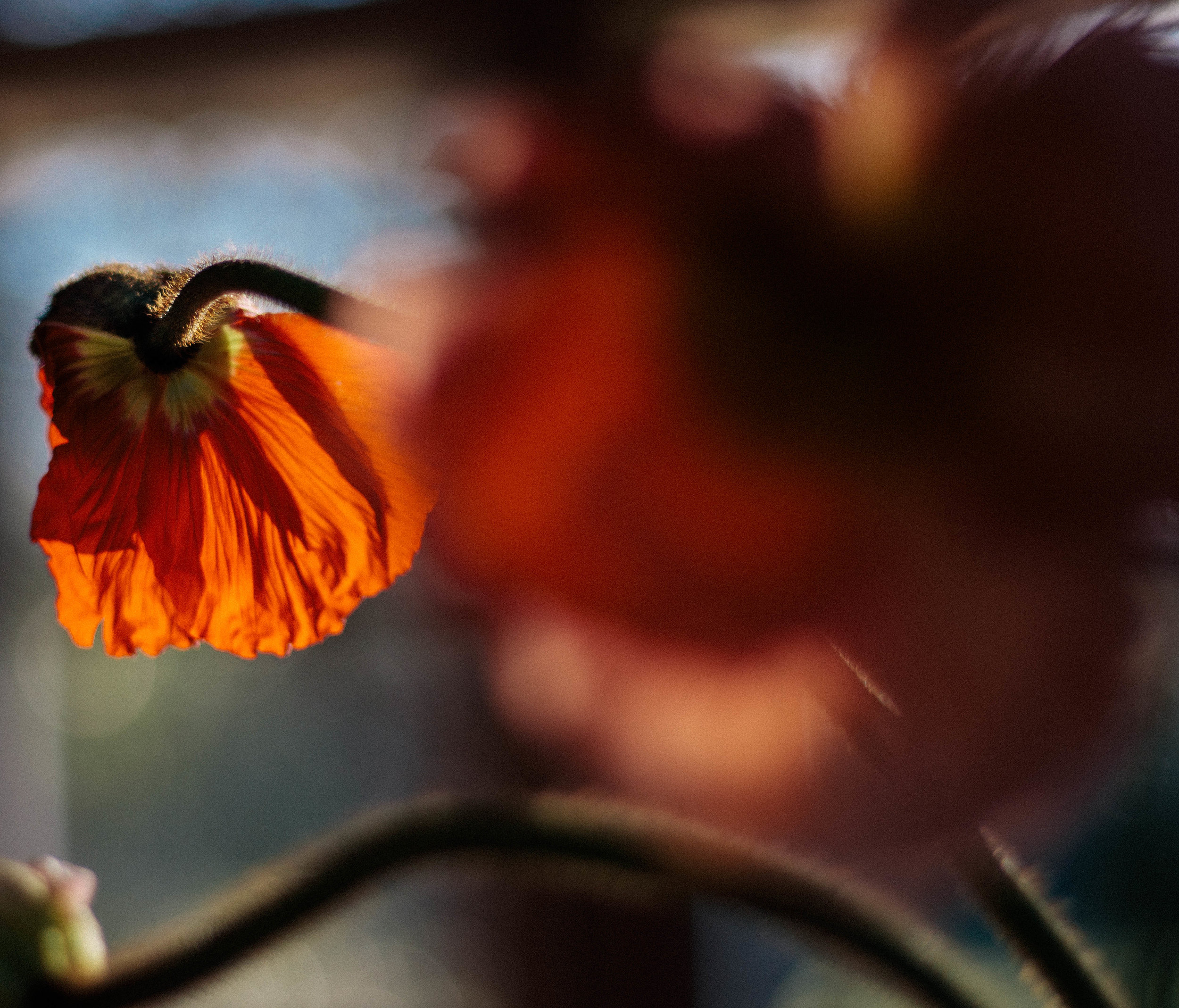 red poppy blur.jpg