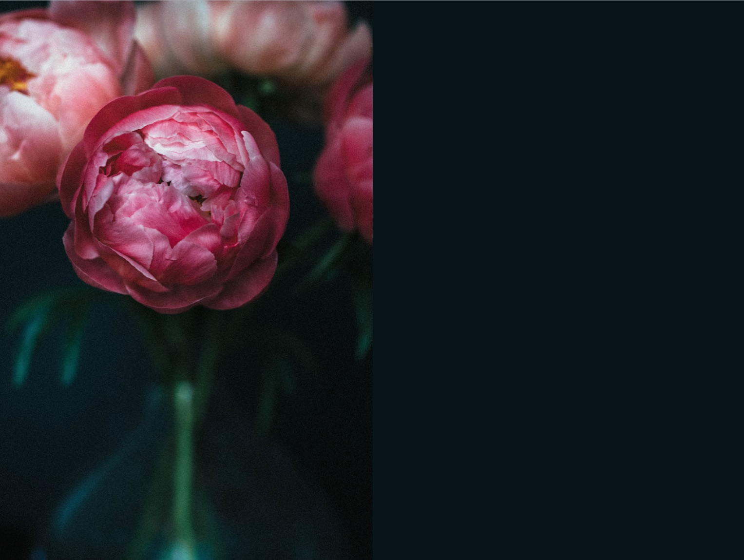 peony flower photography gift present print giclee fine art london greenwich.jpg