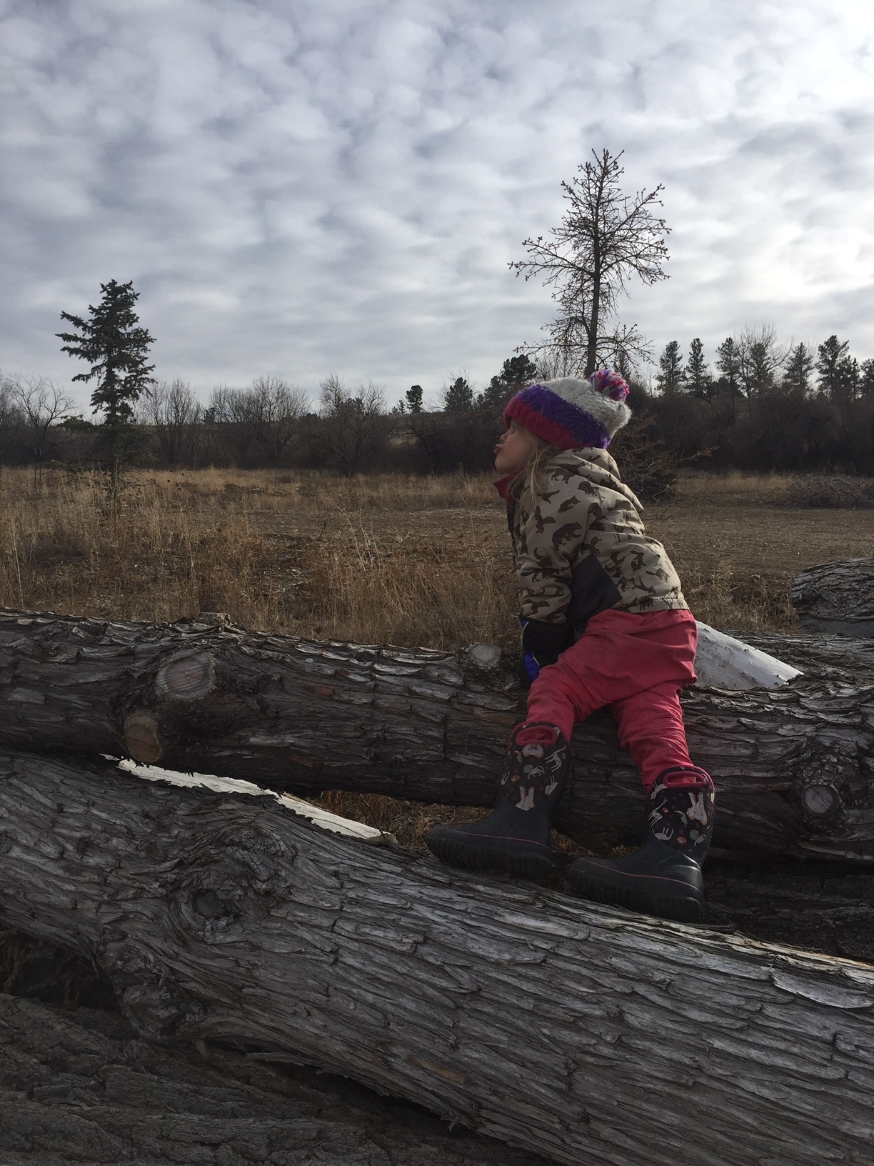 A coyote howling on the Log Pile, a favorite spot for dramatic play. The kids have learned to howl to each other when they are looking for friends in the forest.