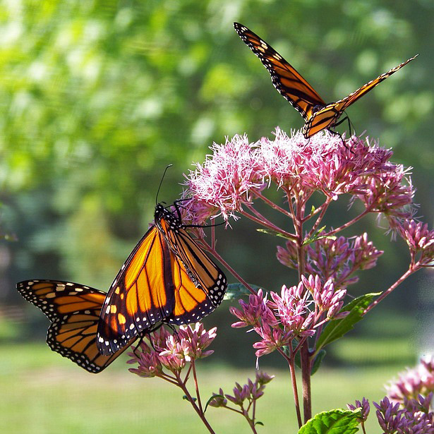 Do you want to create an outdoor sanctuary where you and your guests can observe bumble bees, butterflies, hummingbirds, songbirds, and other wildlife? -