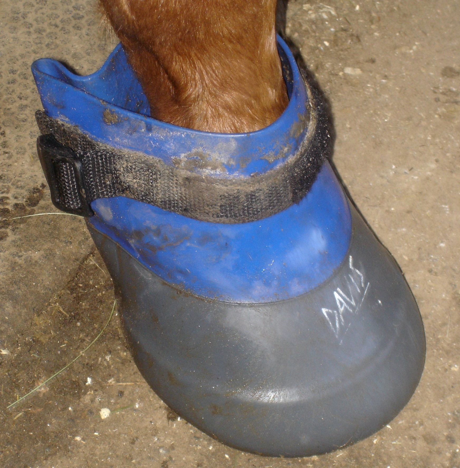 Soaking a horse's hoof in Epsom salt and warm water to help draw out an abscess.