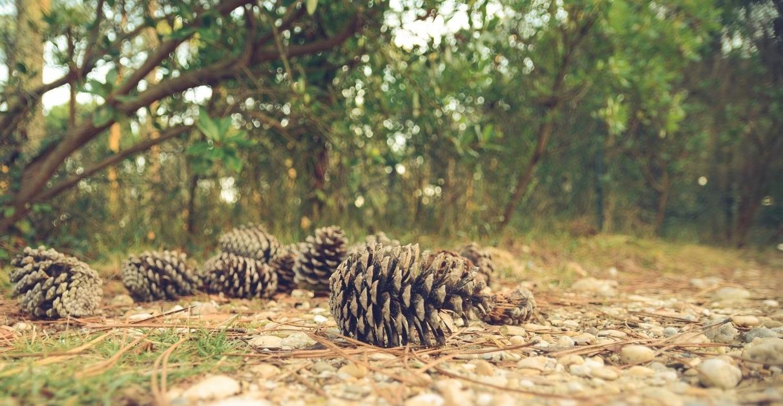 pine-cones-1031211_1920.jpg