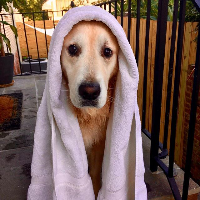 Ready for dry {and cold} weather in NOLA 🦁🍂 #restlesslion #fallwhereareyou . . . #maplemansion  #goldenretriever #goldensofinstagram #goldensofig #goldensofinsta #goldensofinstaworld #topdogphoto #dogsofig #dogsofinstagram #retreiveroftheday #ilovegolden_retrievers #retrieversgram #noladogs #nolanewsgram #slpets #goldenpupsquadfeature #nolapets #doggosofnola