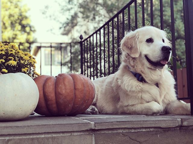 Finally...the first Fall cool front #restlesslion #frontporchlion 🦁🍂 . . . #maplemansion #patiopolice #fallweatherishere #slpets #ilovegolden_retrievers #dogsofinstaworld #nola #goldens #cutepuppy #goldenretriever #goldensofinstagram #goldensofig #dogs #doggo #dogstagram #topdogphoto #topdog #noladogs #nolapets #doggosofnola #nolanewsgramotw #buzzfeedpets