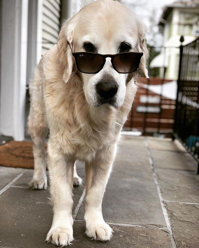 Birthday Lion 🦁 🦁#restlesslion #oldmanlion . . . #goldenretrievers #goldenretriever #goldensofinsta #goldenretrieverpuppy #goldengram #goldensofig #retriever #retrievers #dogsofinstagram #dogsofig #dogsofinsta #dogsofinstaworld