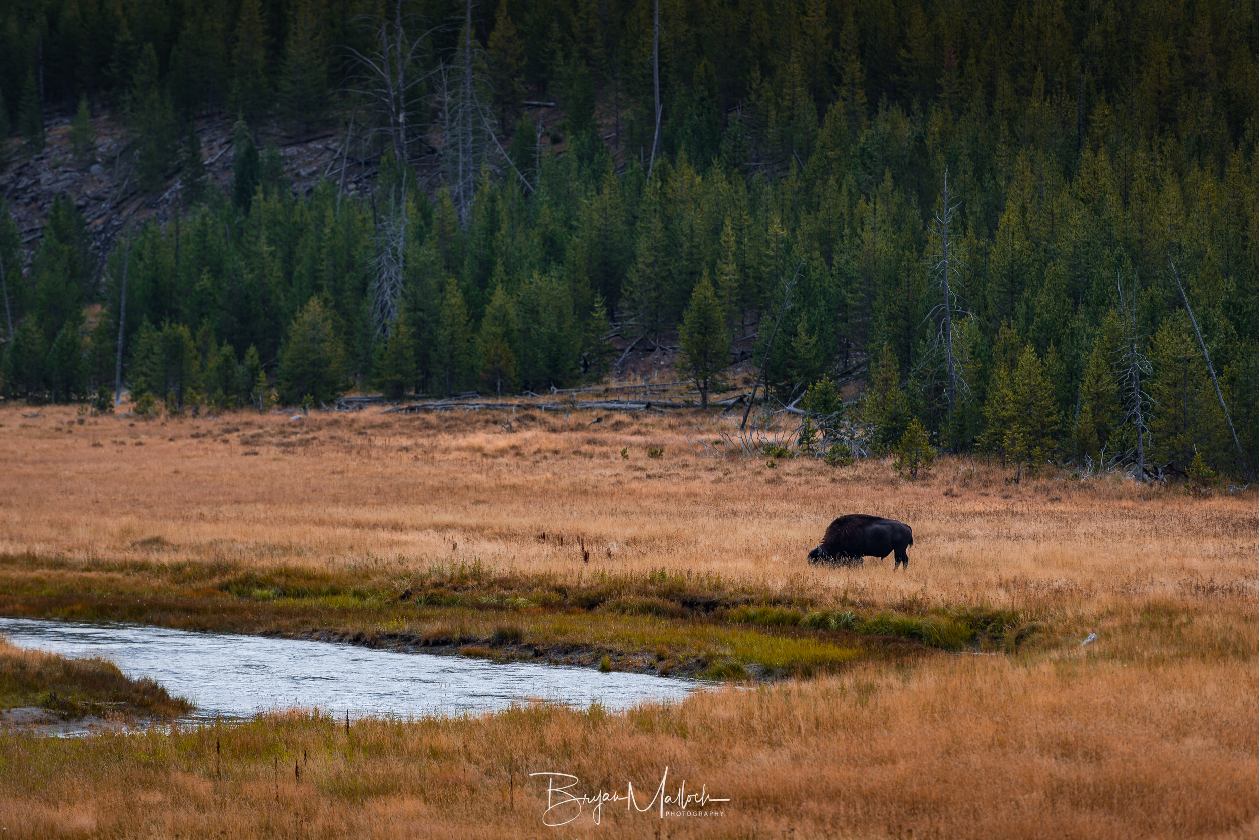 A bison grazes along the Gibbon River