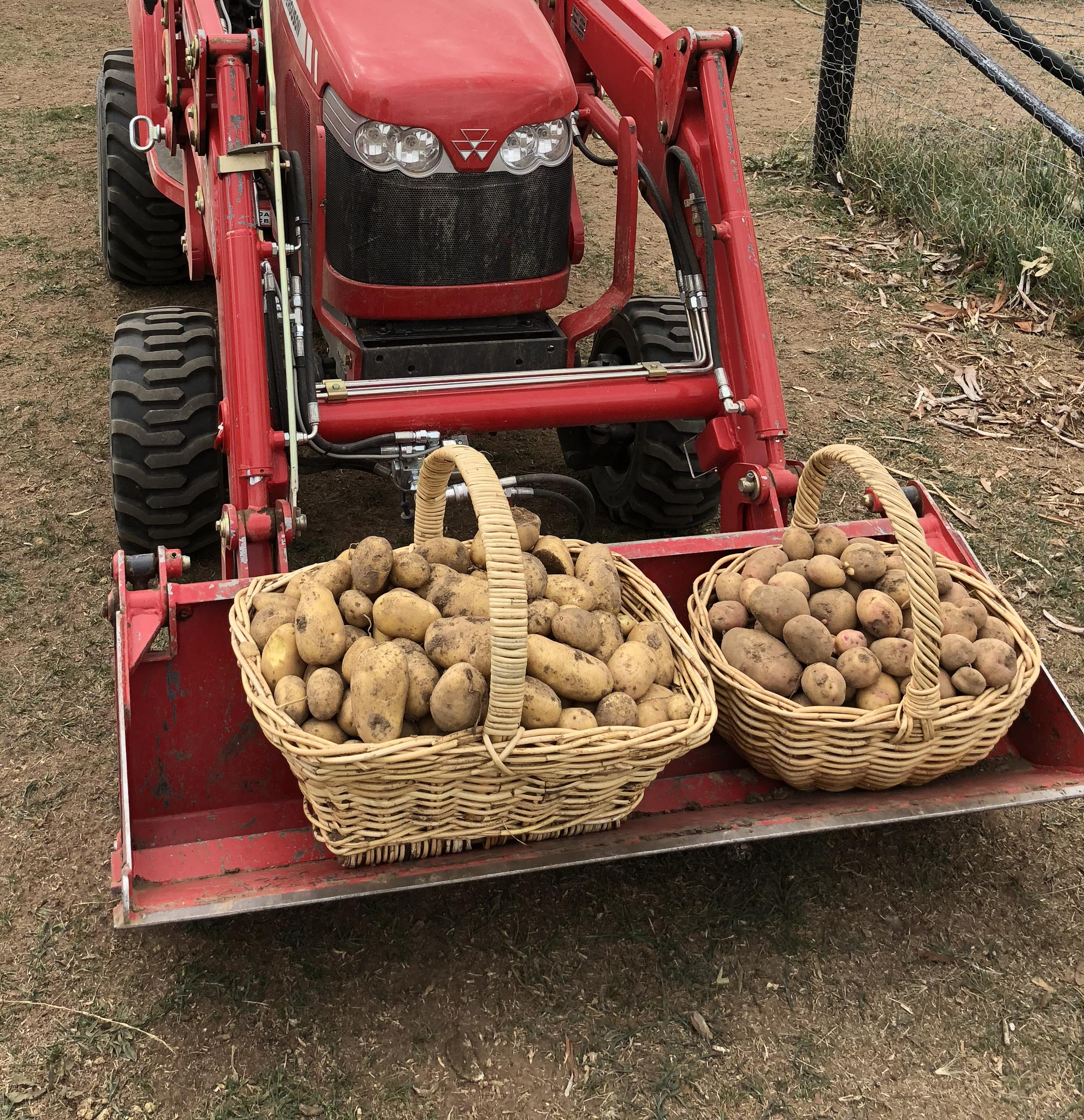 Our potato crops were great in 2018, but they've all sold out now. Early 2019 harvest are already in, with more planting this weekend.
