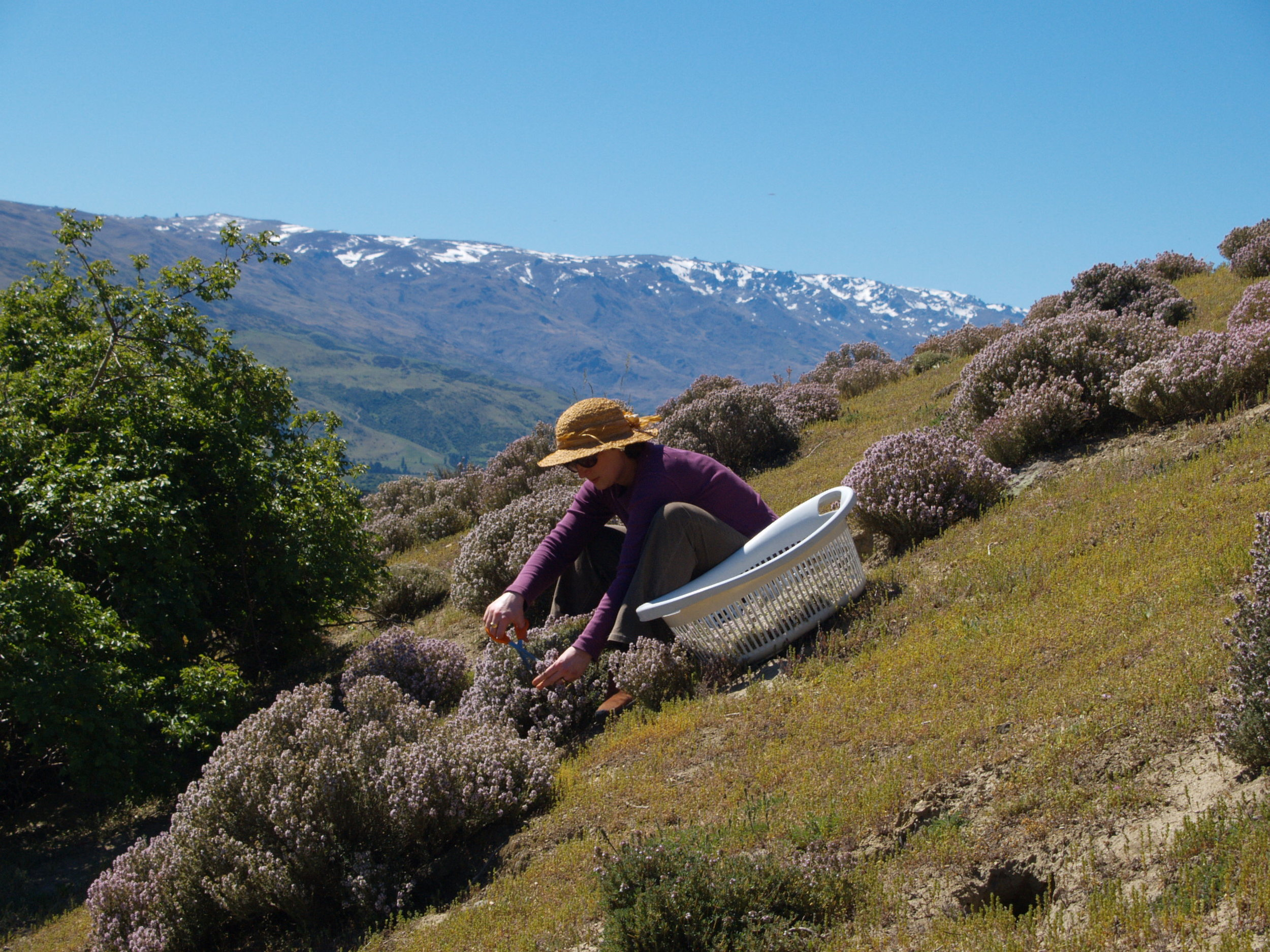 Sandra Clair harvesting wild thyme in Central Otago