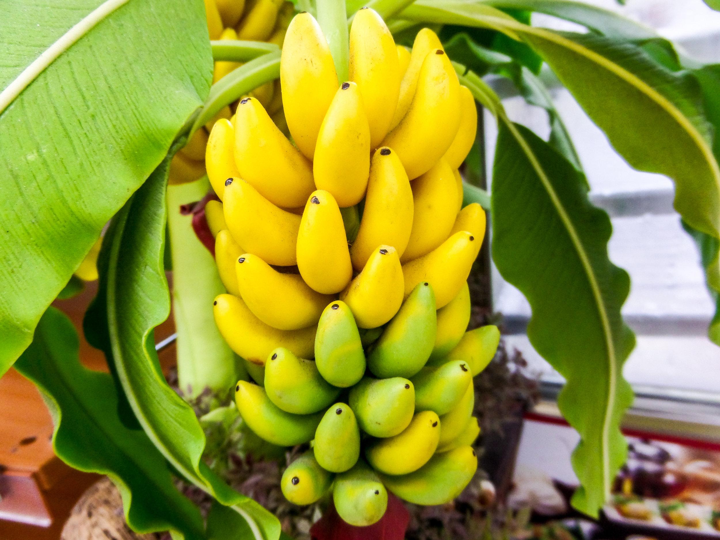 banana-trees-289022372.jpg