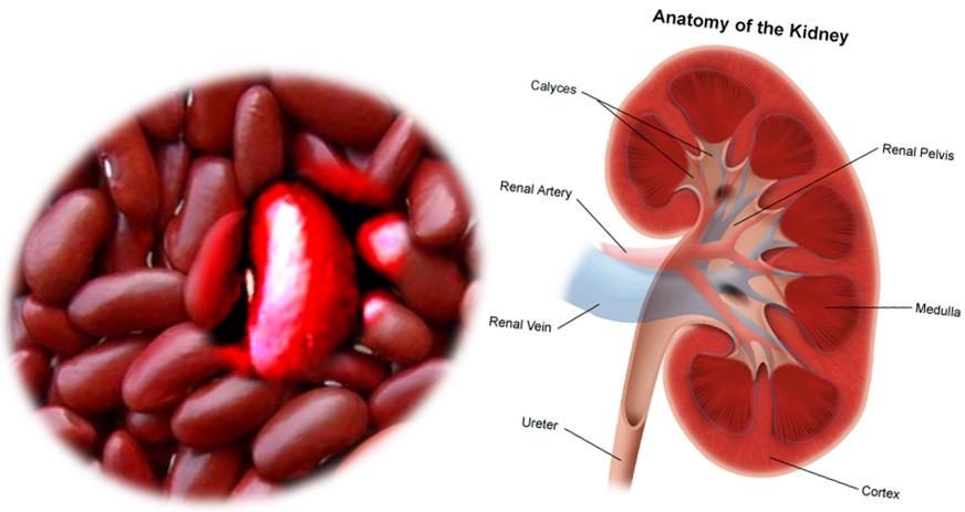 Картинки по запросу Kidney and Beans