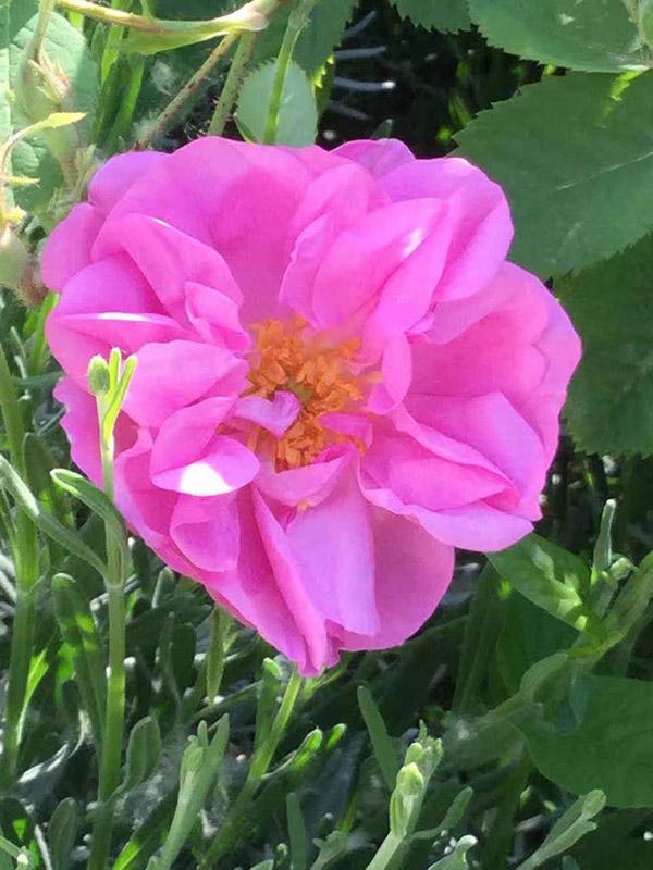 yana-rose-yana-roses-and-field-2.jpg