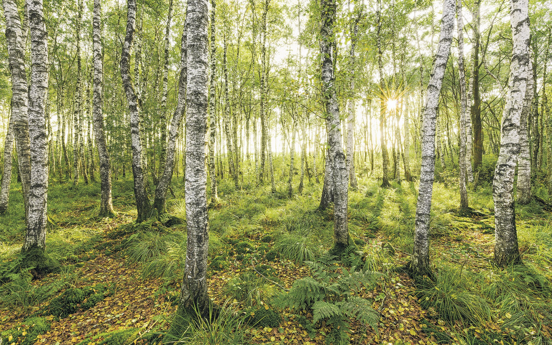 sh043-vd4_birch_trees_web.jpg