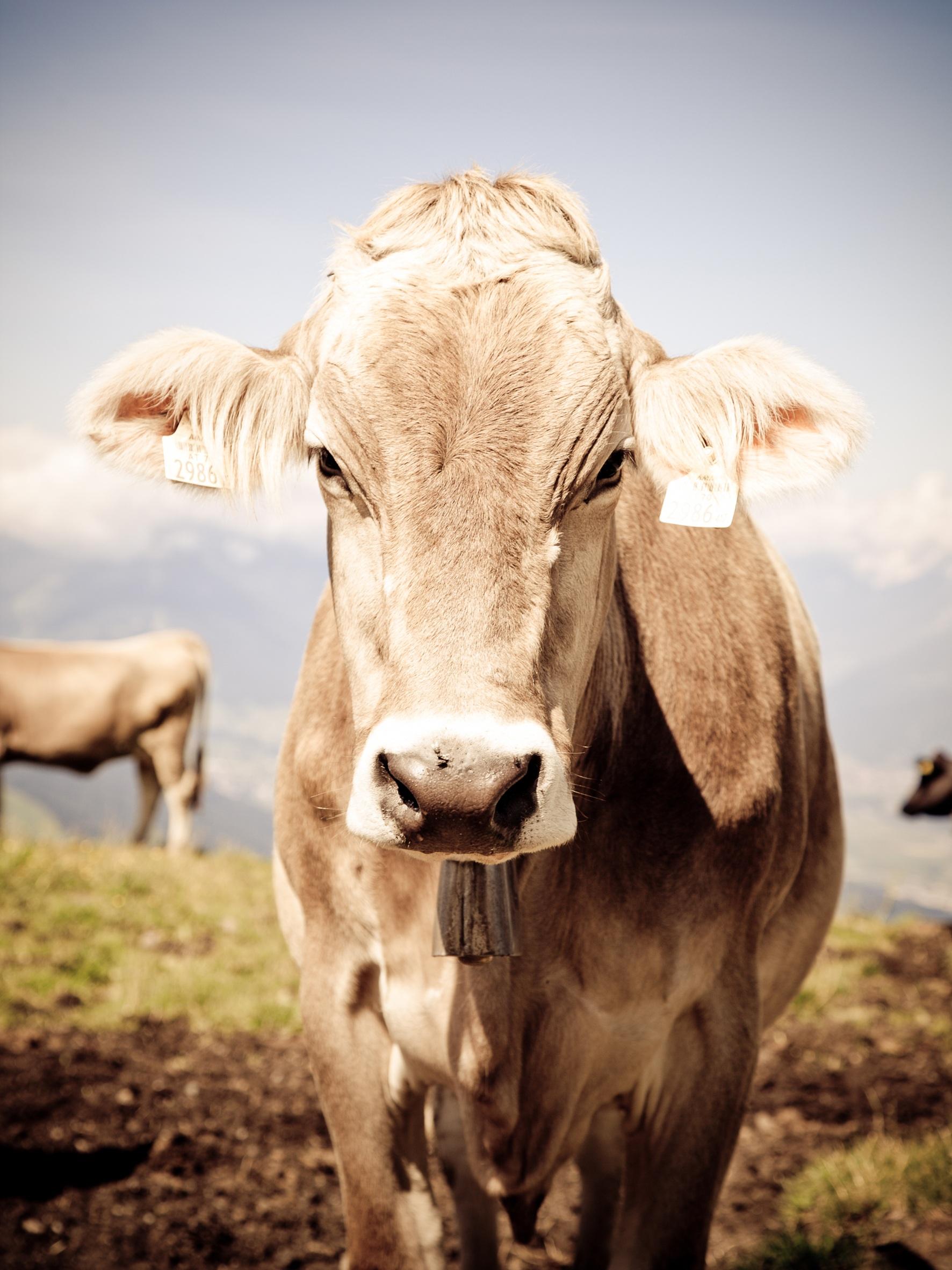 cow-tyrol-alm-cows (1).jpg