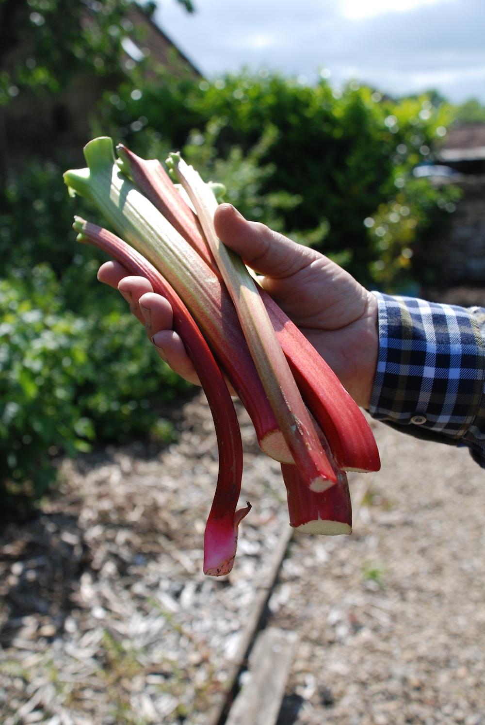 Rhubarb (1).jpg