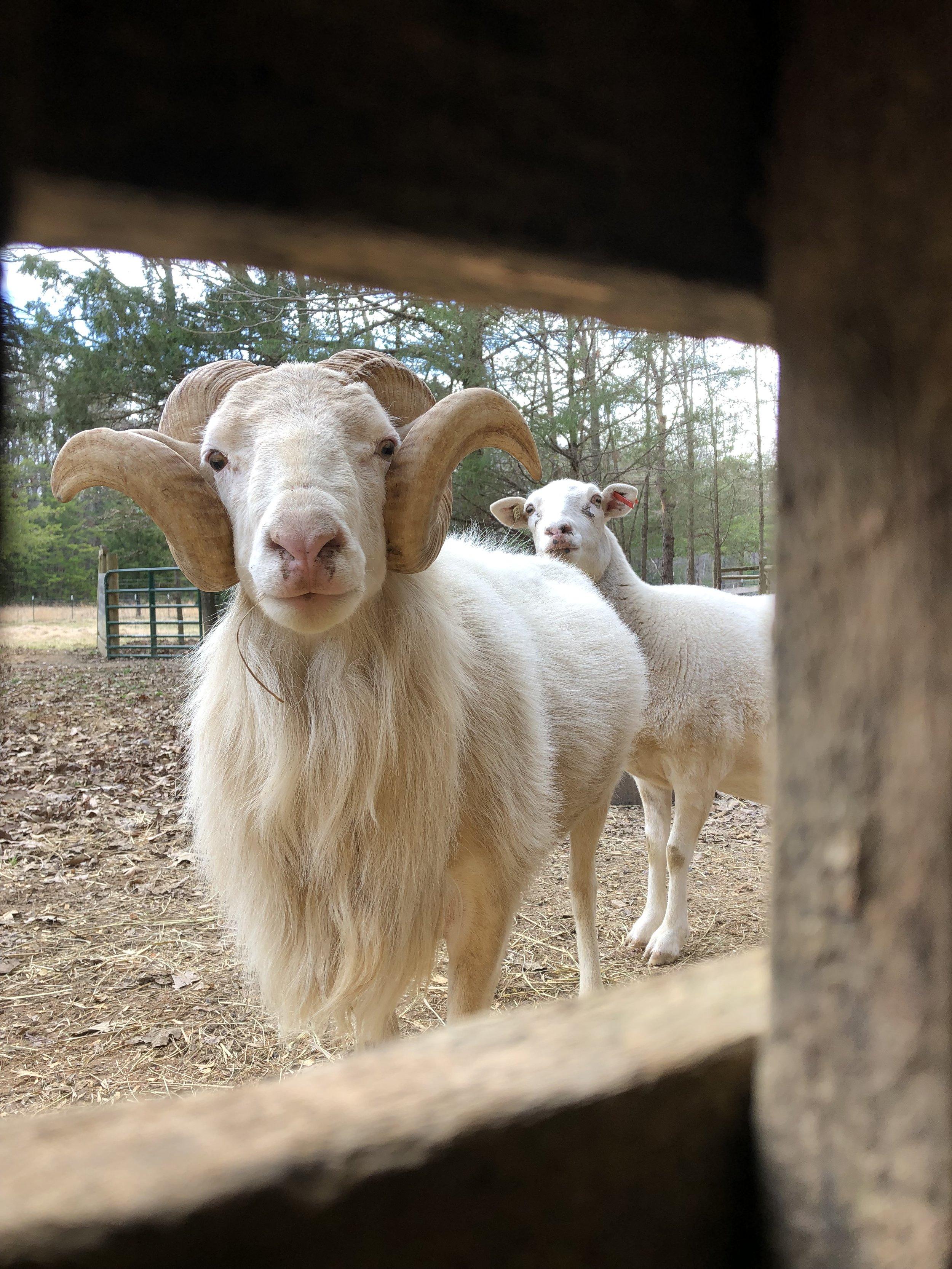 These Ain't Mariah Carey's Lambs