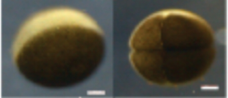 Shown are an egg ( left ) and an 8-cell embryo ( right ).