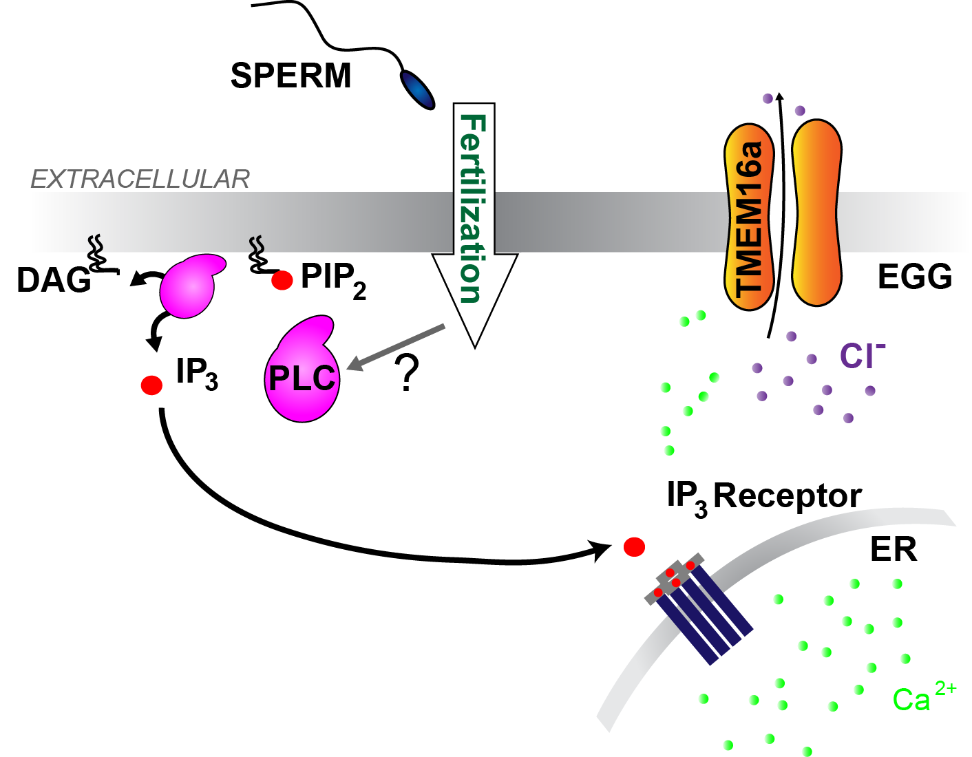 The fast block to polyspermy in X. laevis eggs is activated by PLC induced production of IP3, Ca2+ release from the ER, and opening of TMEM16A channels.