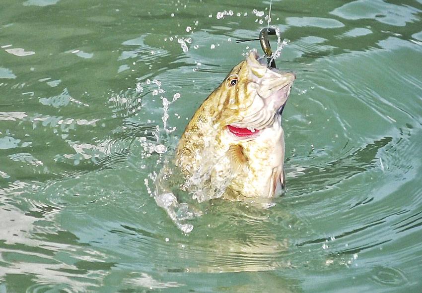 shryock-senkofish01.jpg