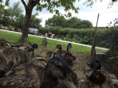 Photographing the nursery ducks and children in the background to attempt to 'make yourself look as small as a duck'