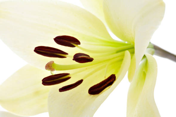 Madonna Lily - produces a brightening effect, decreasing the appearance of contrast &dark spots leaving skin with an even tone -