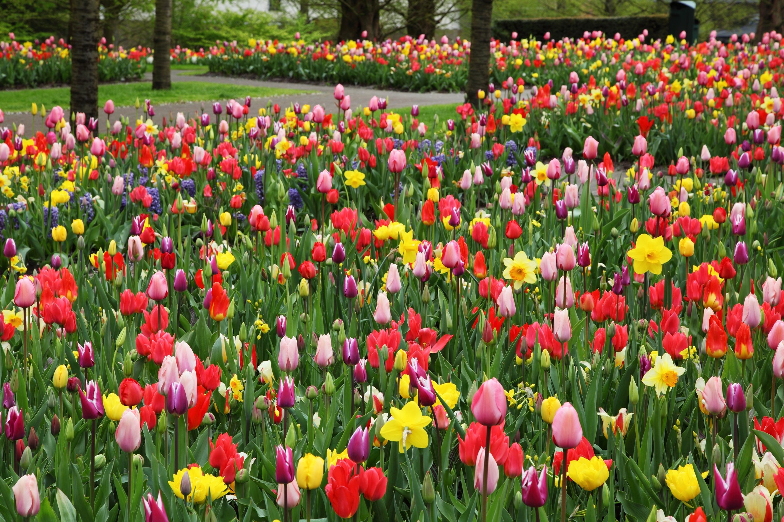 colorful-tulips-flower-field.jpg