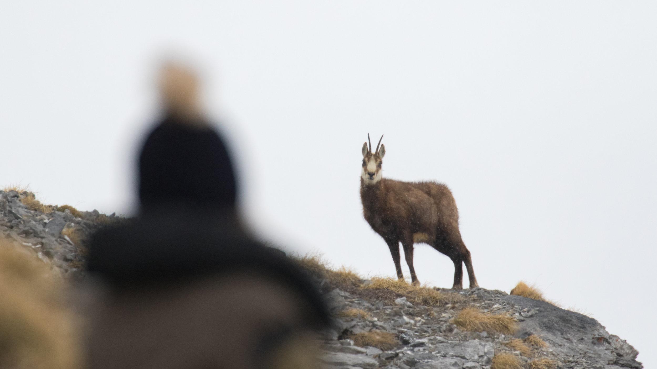 chamois-encounter-gemmipass-valais-switzerland-salva-fauna