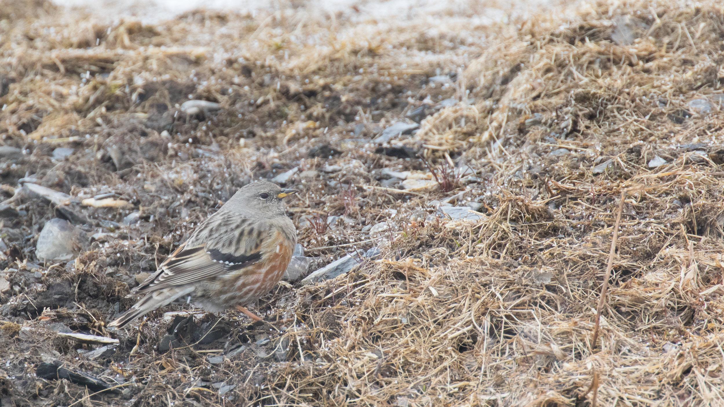 alpine-accentor-gemmipass-valais-switzerland-salva-fauna
