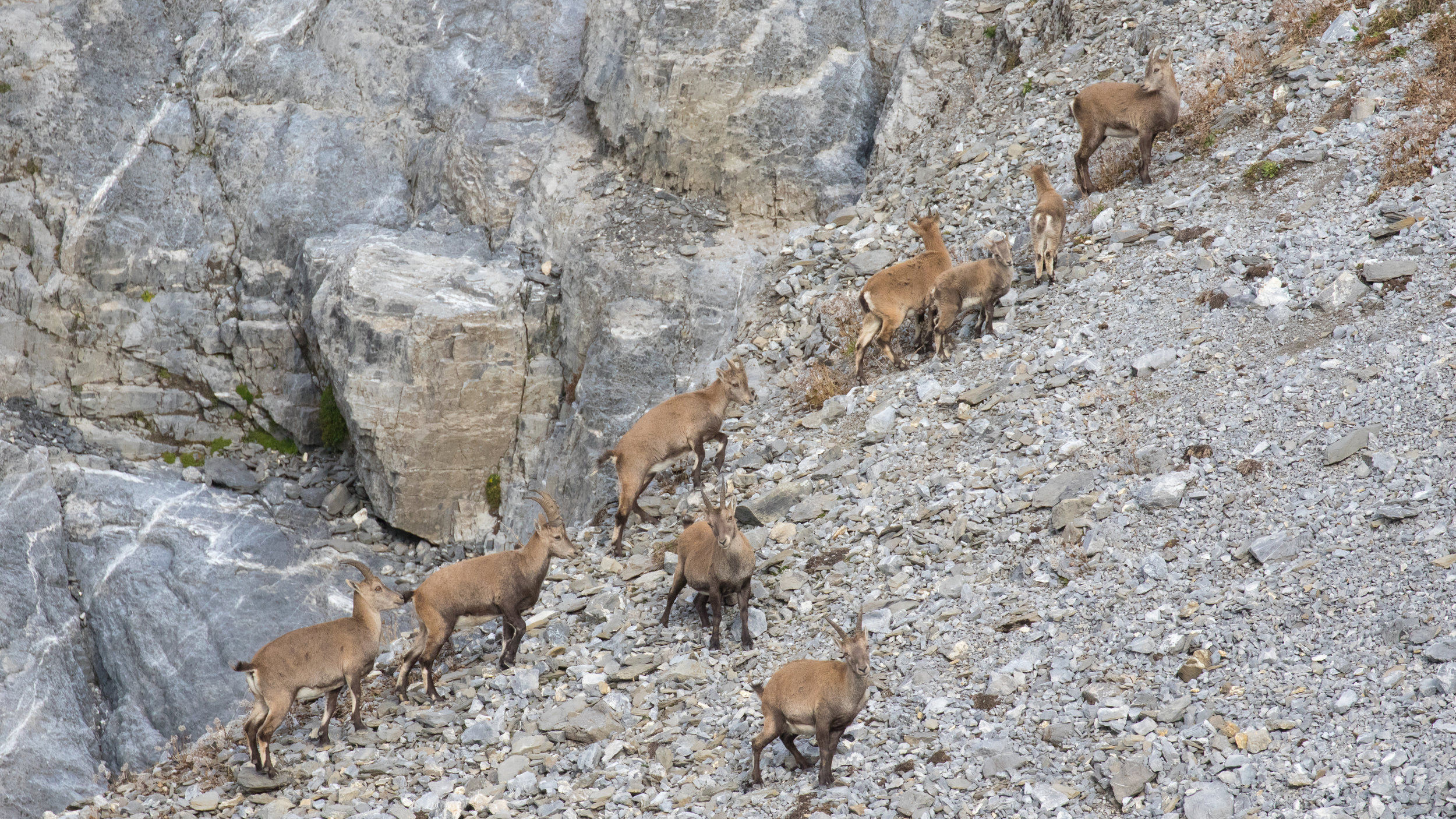 alpine-ibex-vaud-switzerland