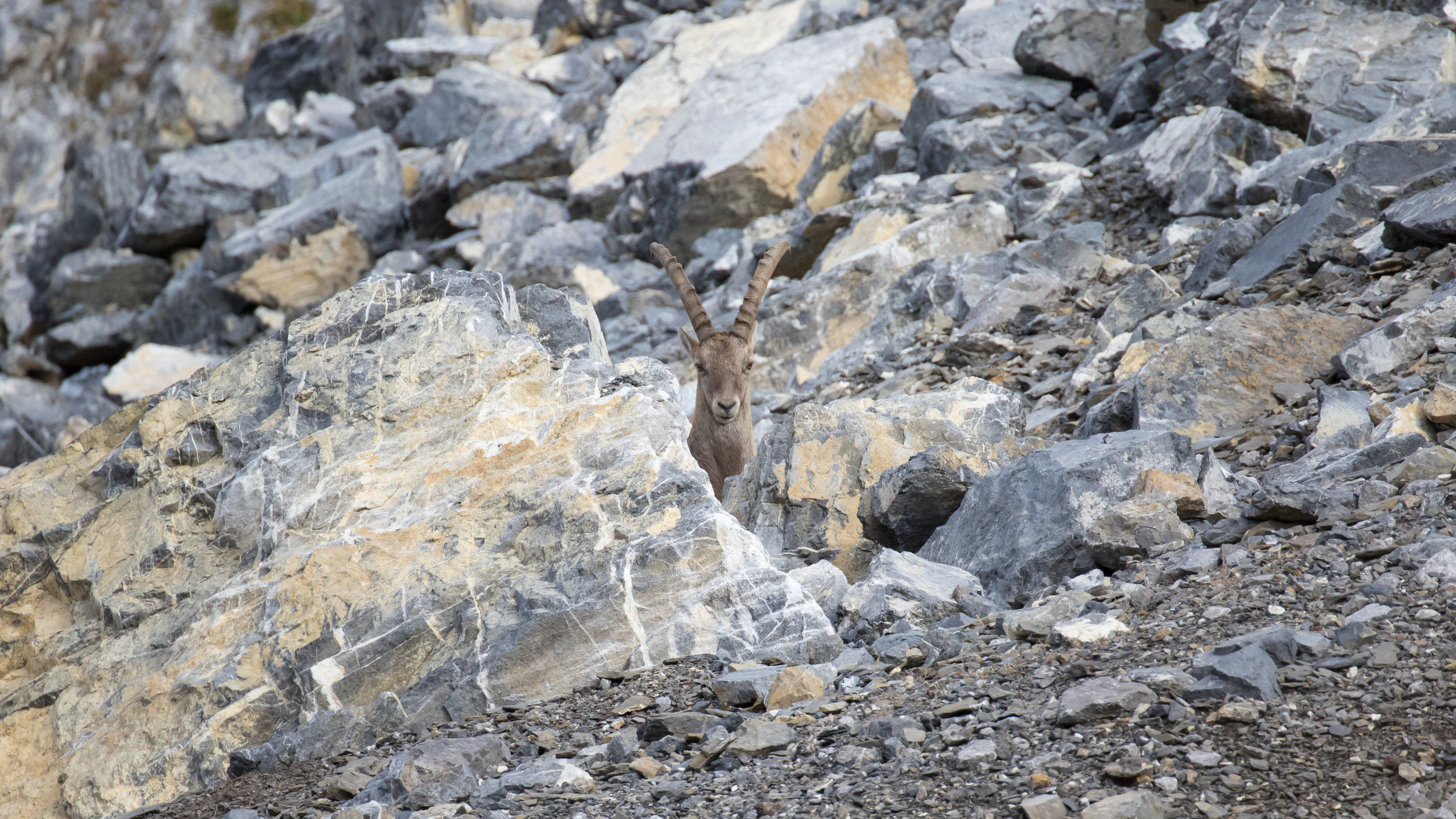 male-alpine-ibex-vaud-switzerland