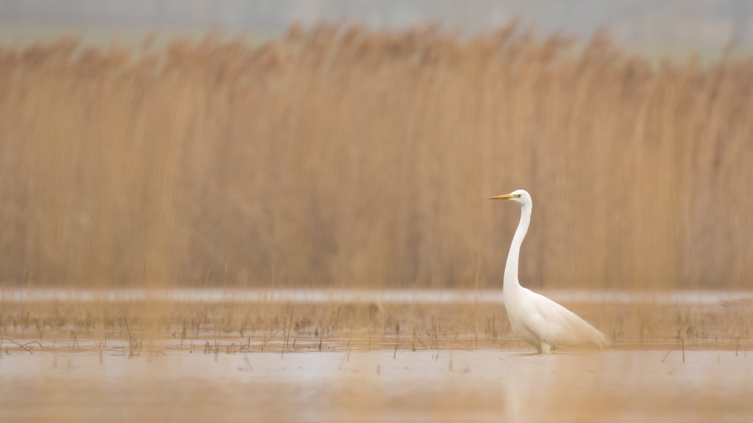 great-white-egret-marais-de-sionnet-switzerland