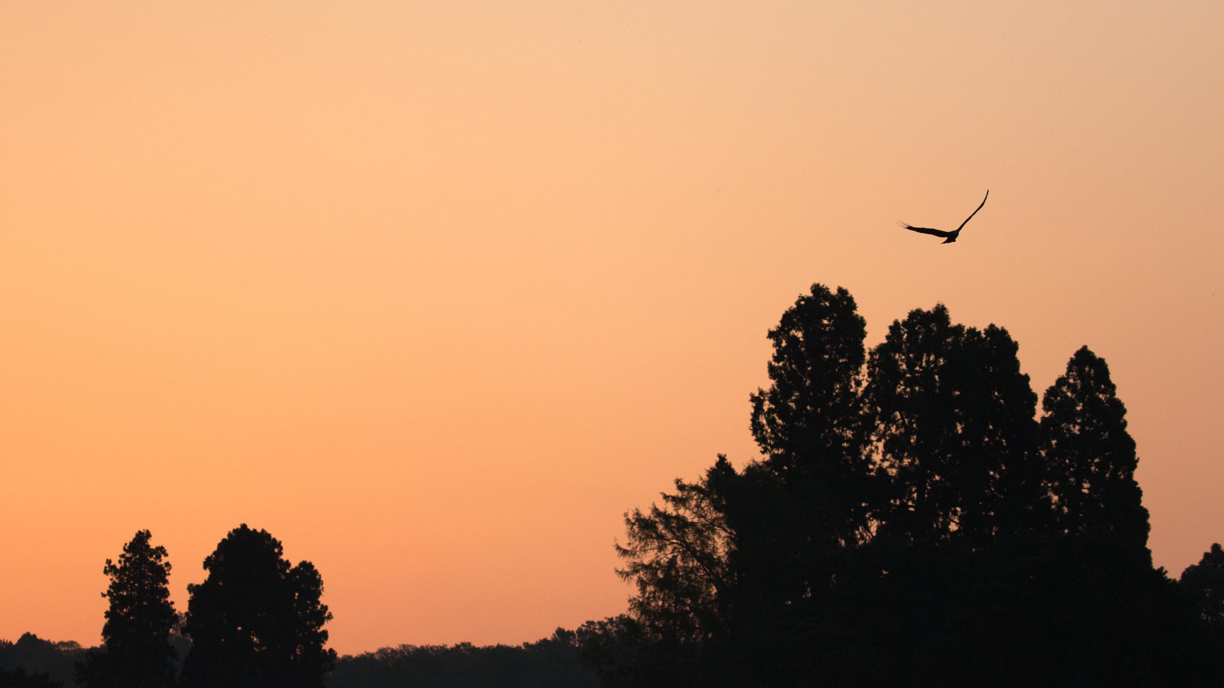 black-kite-geneva-switzerland