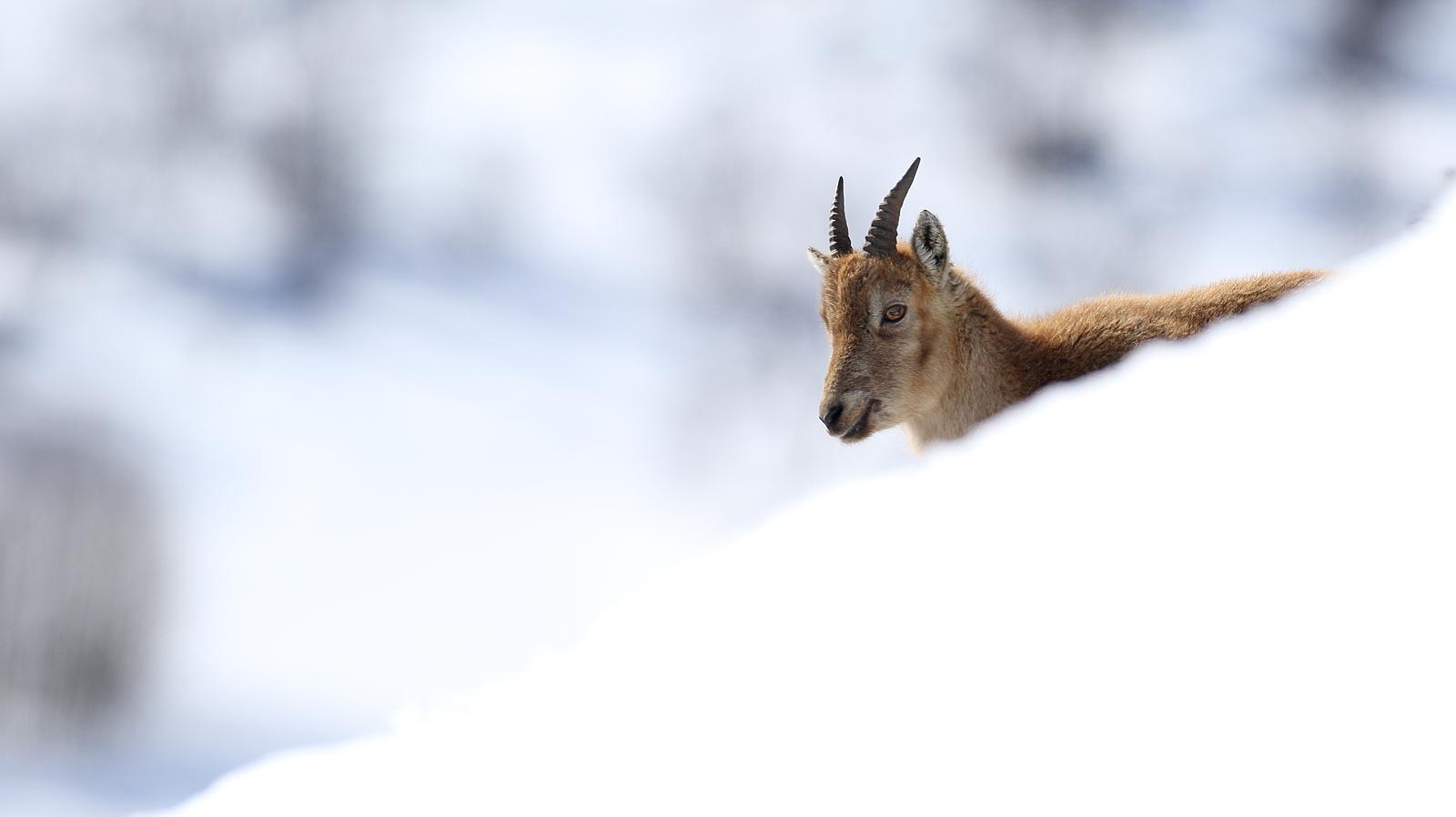 alpine-ibex-france
