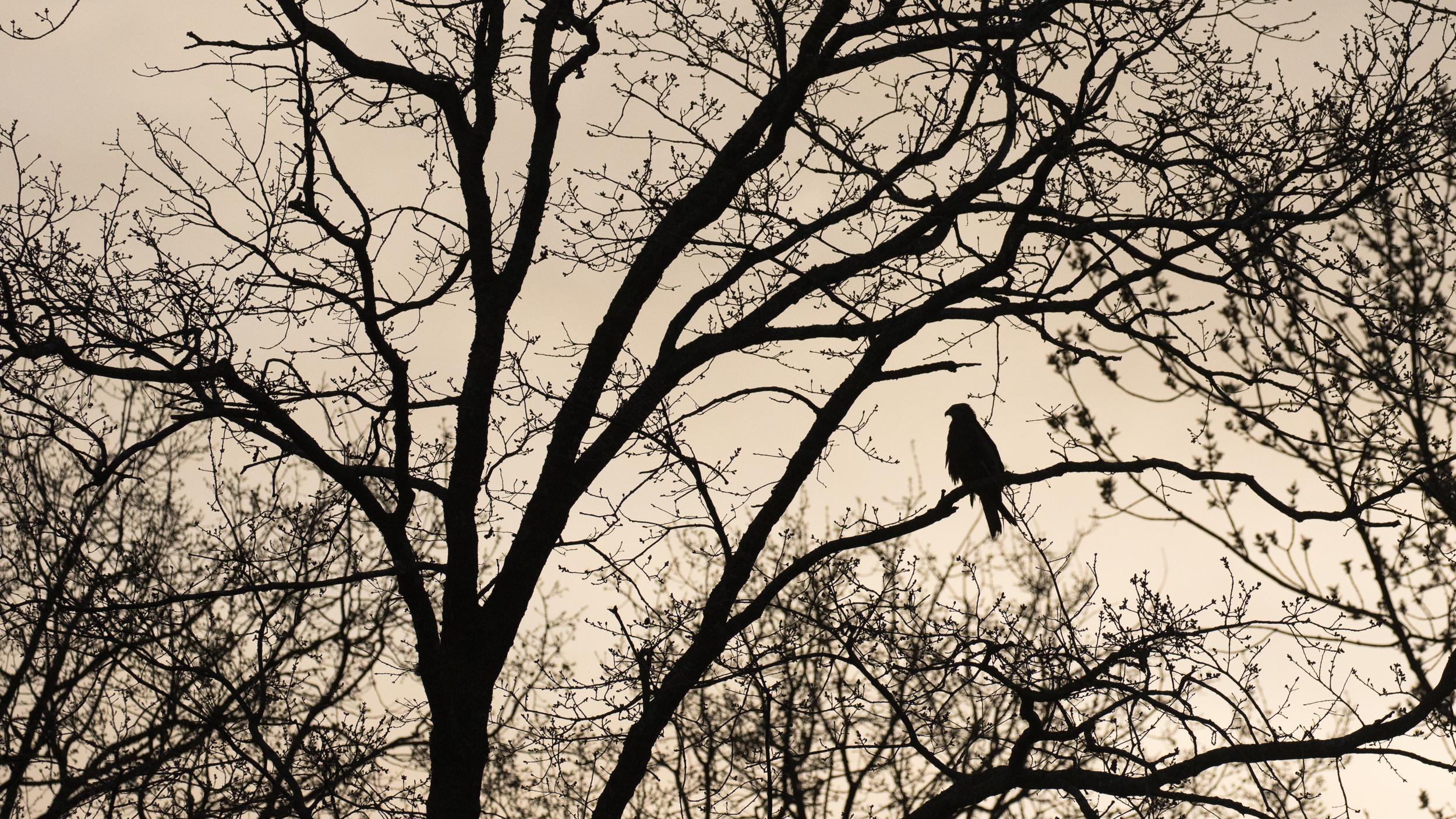 black-kite-marais-de-sionnet-switzerland