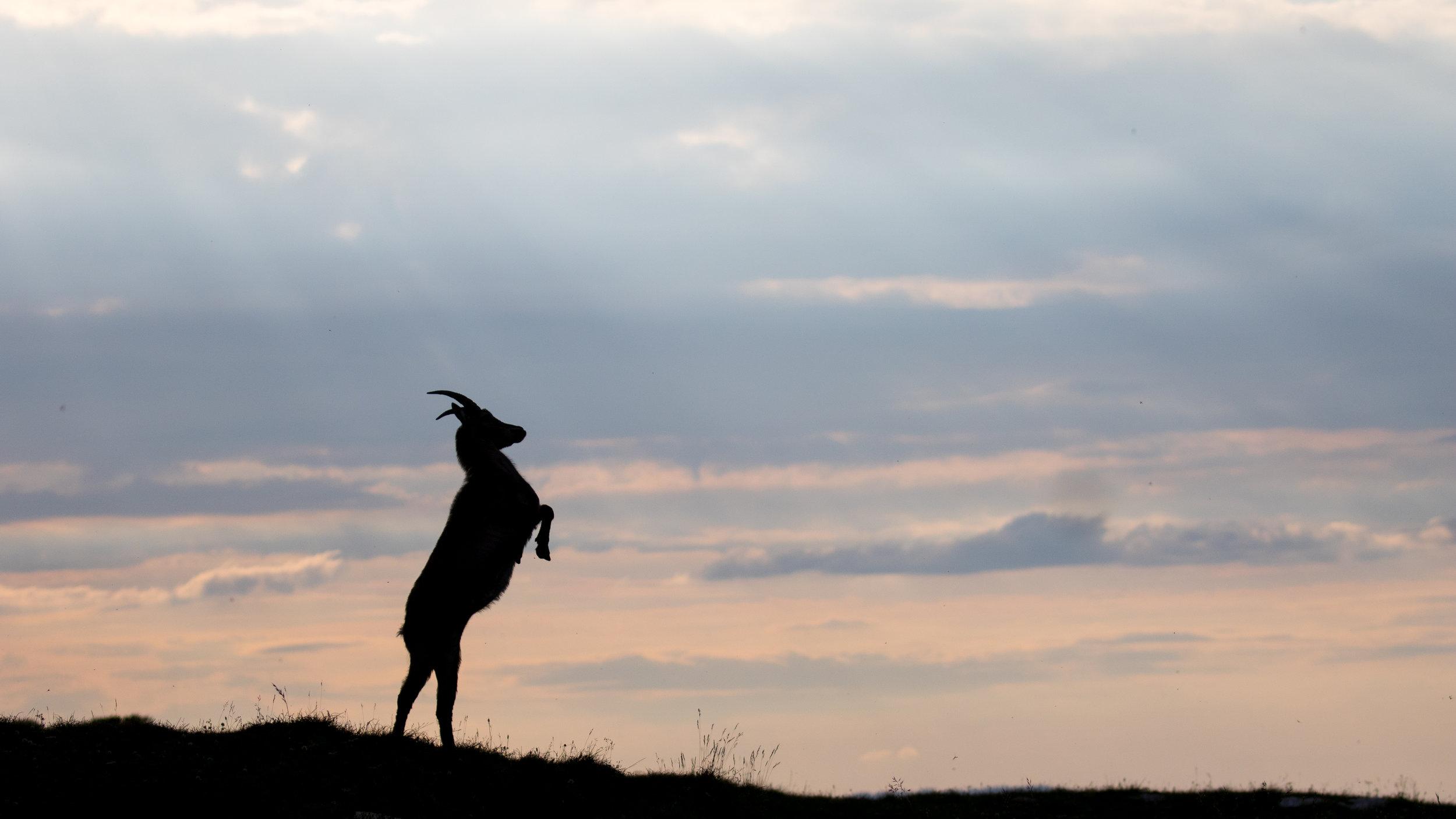 wild-alpine-ibex-creux-du-van-switzerland