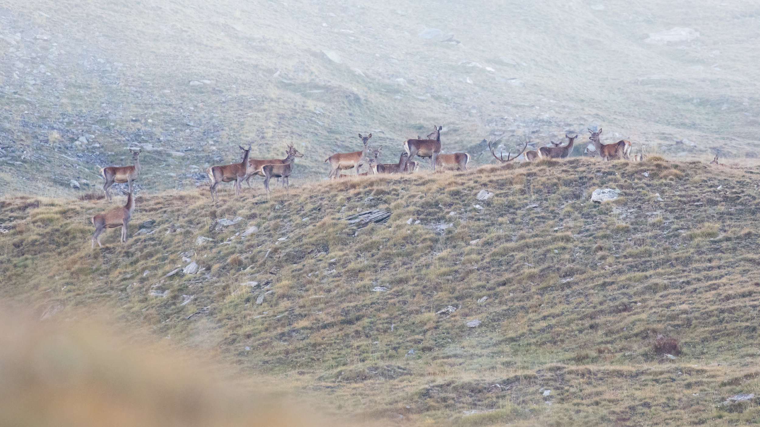 red-deer-rut-salva-fauna