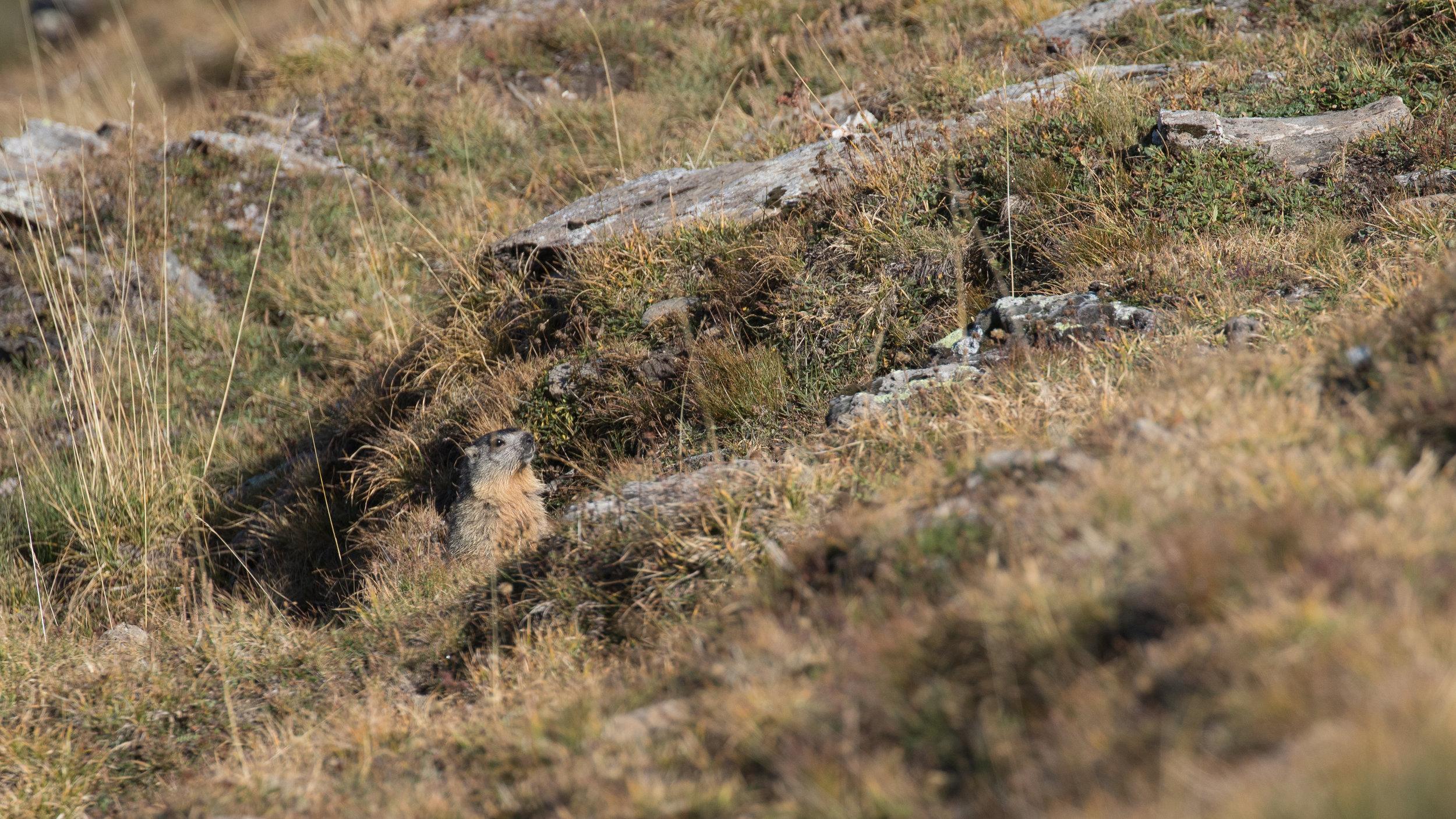 marmot-salva-fauna